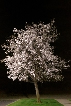 Spring blossoms at night